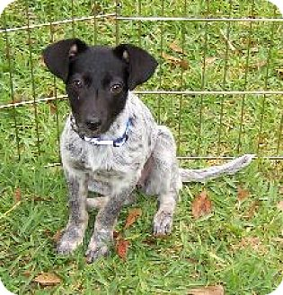 Australian Cattle Dog Mix Puppy for adoption in Lafayette, Louisiana - M Zoe