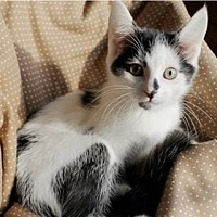 Domestic Shorthair Cat for adoption in Salem, Oregon - Brody