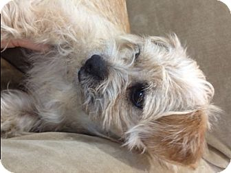 Cairn Terrier/Dachshund Mix Dog for adoption in Castro Valley, California - Gwenevere