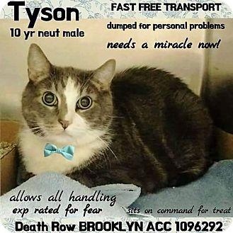 Domestic Shorthair Cat for adoption in Monroe, New York - Tyson