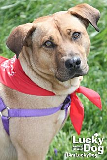 Labrador Retriever/Shepherd (Unknown Type) Mix Dog for adoption in Washington, D.C. - Herman