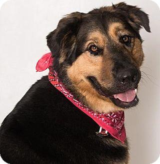 Shepherd (Unknown Type)/Bernese Mountain Dog Mix Dog for adoption in Canoga Park, California - Yogi