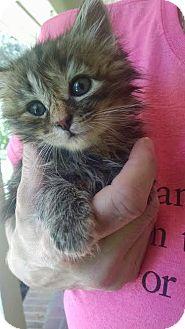 Domestic Longhair Kitten for adoption in Concord, North Carolina - Marissa
