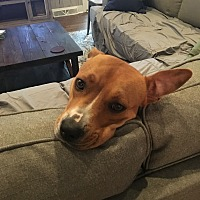 Adopt A Pet :: Ally - Charlotte, NC