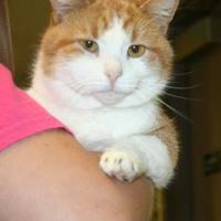 Domestic Shorthair/Domestic Shorthair Mix Cat for adoption in Green Bay, Wisconsin - Gascon