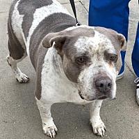 Adopt A Pet :: PEBBLES - Lakewood, CA