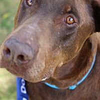 Doberman Pinscher Mix Dog for adoption in Fillmore, California - Punch