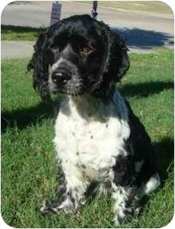 Cocker Spaniel Dog for adoption in Sugarland, Texas - Burgess