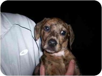 Dachshund Mix Puppy for adoption in Plainfield, Illinois - Rebel