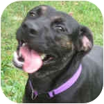 Pit Bull Terrier/Rottweiler Mix Dog for adoption in Peoria, Illinois - Mimosa