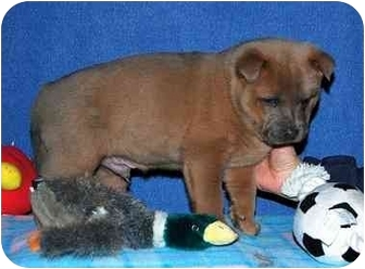 Shepherd (Unknown Type)/Chow Chow Mix Puppy for adoption in Broomfield, Colorado - Apolo