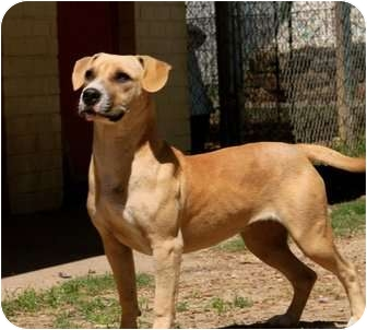 American Pit Bull Terrier/Basset Hound Mix Dog for adoption in Plano, Texas - Reagan
