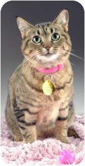 Domestic Shorthair Cat for adoption in Cincinnati, Ohio - Willow