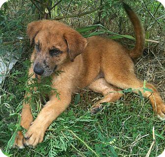 Bullmastiff/Catahoula Leopard Dog Mix Puppy for adoption in Hammond, Louisiana - Taboo