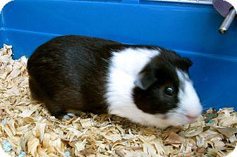 Guinea Pig for adoption in West Palm Beach, Florida - DAX