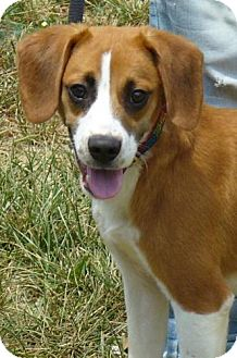 Brittany/Beagle Mix Puppy for adoption in Buffalo, New York - Chandler: 8 months