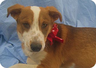 Cattle Dog Mix Puppy for adoption in Pasadena, California - CHESSIE