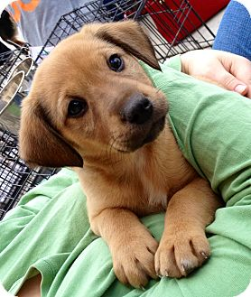 Shepherd (Unknown Type)/Labrador Retriever Mix Puppy for adoption in Olive Branch, Mississippi - Pudge-Walnut, MS Pup