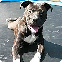 Adopt A Pet :: Brad - Nashville, TN