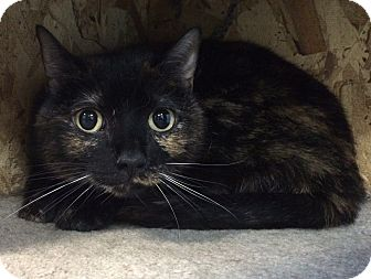 Calico Cat for adoption in Fruit Heights, Utah - Sophie
