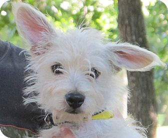 Westie, West Highland White Terrier/Yorkie, Yorkshire Terrier Mix Puppy for adoption in Albany, New York - Riley