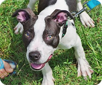 American Pit Bull Terrier Mix Puppy for adoption in Reisterstown, Maryland - Electron