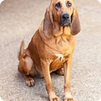 Adopt A Pet :: Sarabi - Dallas, TX