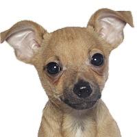 Adopt A Pet :: Forrest - Fort Lauderdale, FL