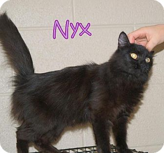 Domestic Mediumhair Cat for adoption in Lewisburg, West Virginia - Nyx