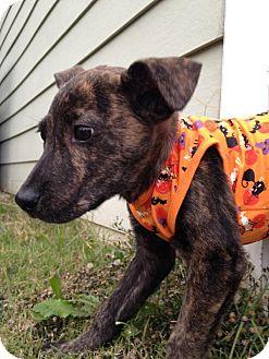 Dutch Shepherd/Labrador Retriever Mix Puppy for adoption in Memphis, Tennessee - Keller