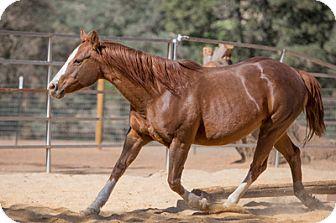Quarterhorse Mix for adoption in El Dorado Hills, California - Roxie