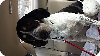 Pointer/Hound (Unknown Type) Mix Dog for adoption in LaGrange, Kentucky - NOELLE