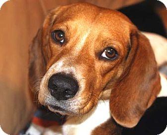 Beagle Dog for adoption in Houston, Texas - Sheri