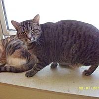 Domestic Shorthair Cat for adoption in Live Oak, Florida - Yoda