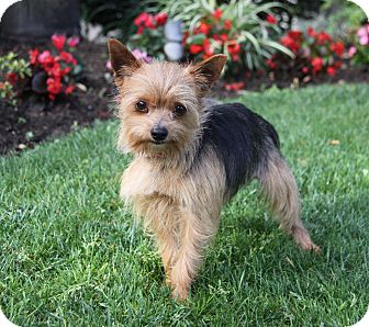 Yorkie, Yorkshire Terrier Mix Dog for adoption in Newport Beach, California - DOLITTLE