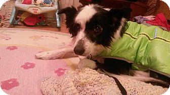 Border Collie Dog for adoption in Montague, Michigan - Zoya-New Update 4-14