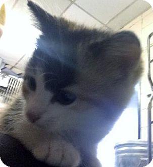 Domestic Mediumhair Kitten for adoption in Fort Smith, Arkansas - Zenith