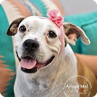 Adopt A Pet :: ATHENA - Higley, AZ