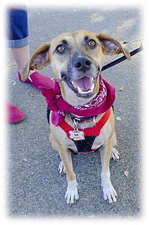 Whippet/Hound (Unknown Type) Mix Dog for adoption in Sacramento, California - Sissy trained companion