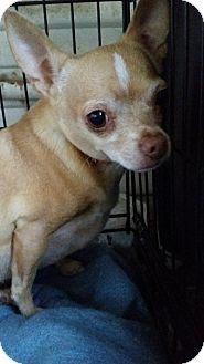 Chihuahua Dog for adoption in TAHOKA, Texas - HOUDINI