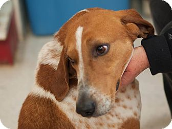 English (Redtick) Coonhound Dog for adoption in Buffalo, New York - Howie