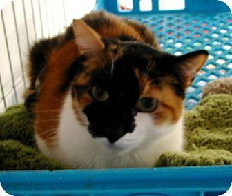Calico Cat for adoption in Penndel, Pennsylvania - Abbie