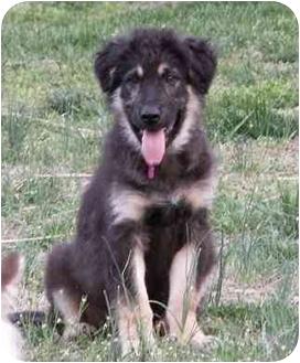 German Shepherd Dog/Golden Retriever Mix Puppy for adoption in Chapel Hill, North Carolina - Rooney