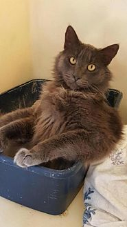 Domestic Mediumhair Cat for adoption in Napa, California - Sherwin - NO FEE