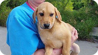 Beagle Mix Puppy for adoption in Minneapolis, Minnesota - Denny