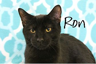Domestic Shorthair Kitten for adoption in Wichita Falls, Texas - Ron