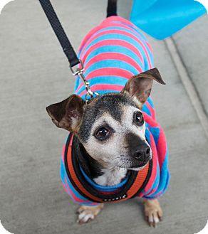 Chihuahua/Dachshund Mix Dog for adoption in Vancouver, Washington - Pedro