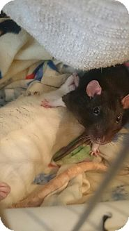 Rat for adoption in Brooklyn, New York - Boo, Mo, and Batty
