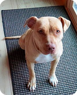 Pit Bull Terrier/Shar Pei Mix Dog for adoption in Jemez Springs, New Mexico - Abigail