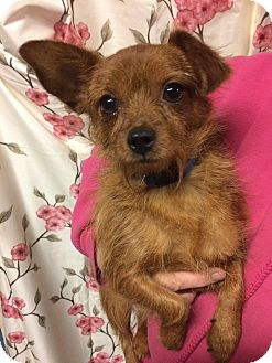Chihuahua/Yorkie, Yorkshire Terrier Mix Dog for adoption in Kansas city, Missouri - Sapphire